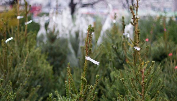 На Рябова незаконно торговали елками