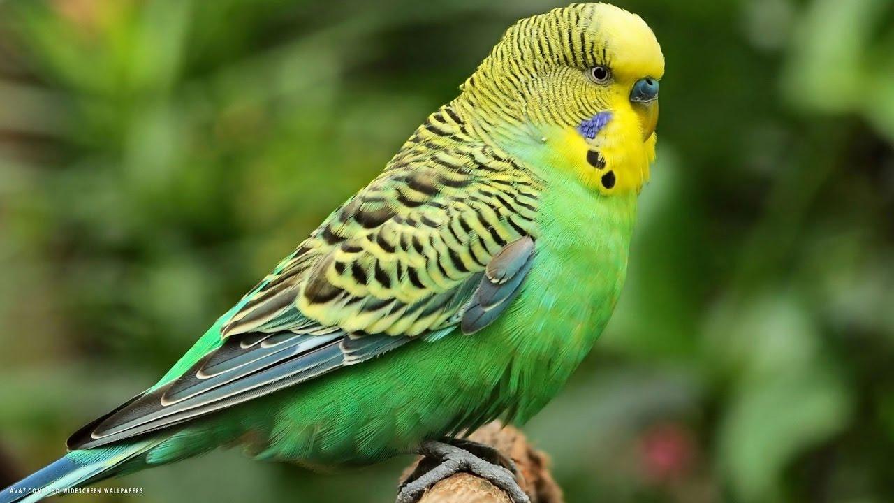 В Саратове от сердечного приступа умер попугай