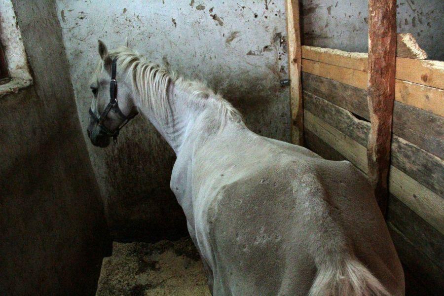 Ветеринары до сих пор не могут назвать причины истощения полицейских лошадей