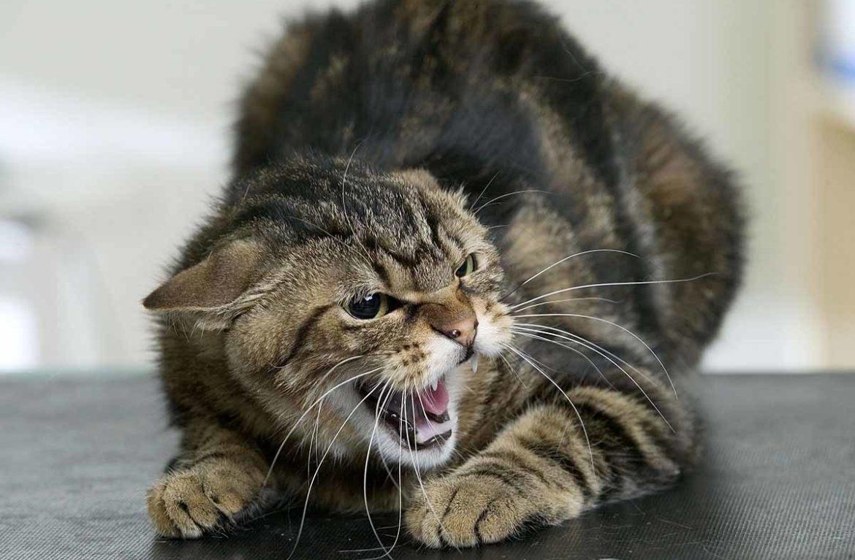 Бешеный кот стал причиной карантина в Шило-Голицыно