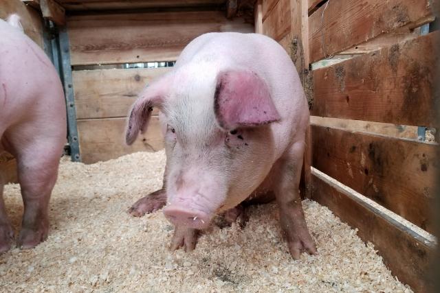 В 6 раз сократилось число очагов чумы свиней