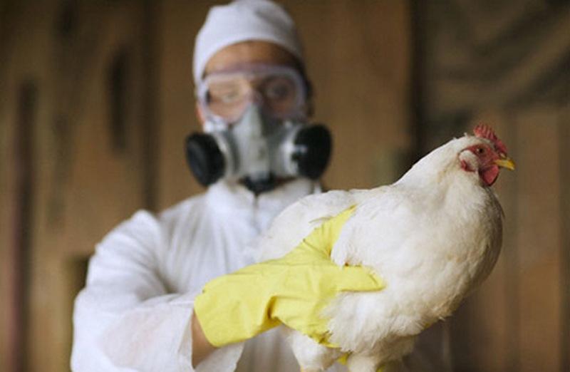 В Ртищево не допустили массового распространения птичьего гриппа