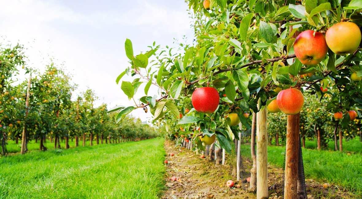 В Ртищеве посадят 300 гектаров плодовых деревьев