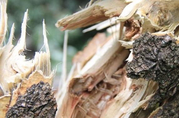 Упавшее дерево насмерть раздавило мужчину из Салтыковки