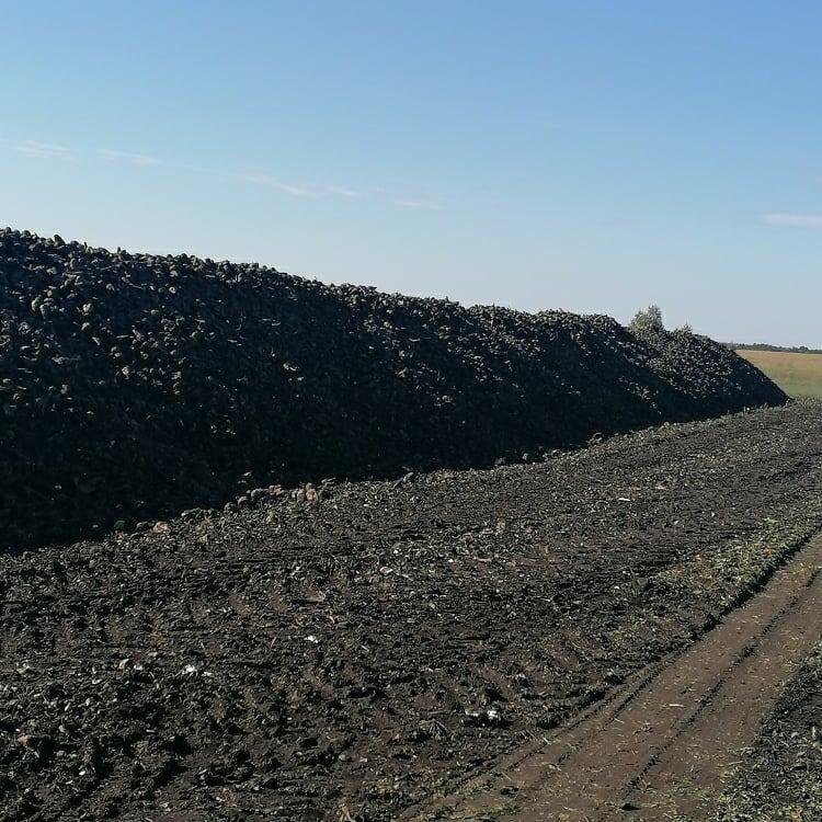 В Ртищевском районе началась уборка сахарной свеклы